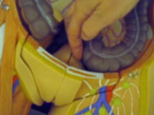 Uterus-sigmo-web